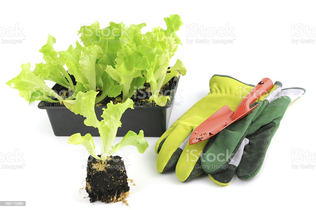 Seedling Lollo Bionda Lettuce Salat with garden glove and trowel stock photo
