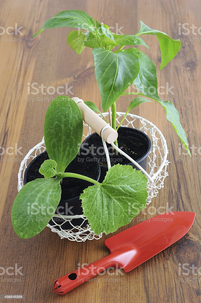 seedling of a paprika plant and zuccini stock photo