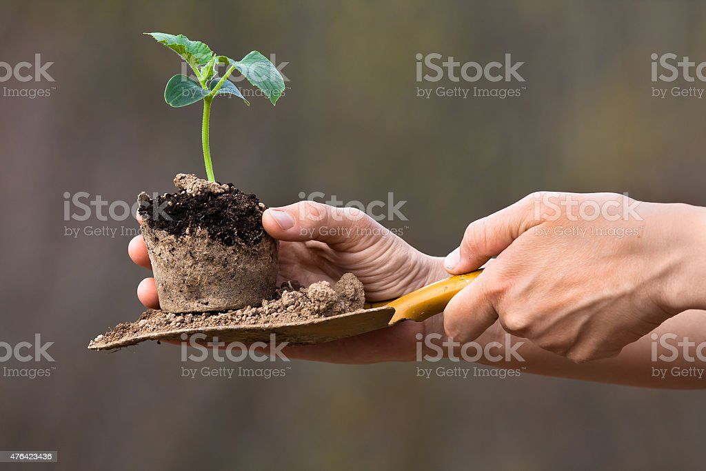 seedling of cucumber ready to planting stock photo
