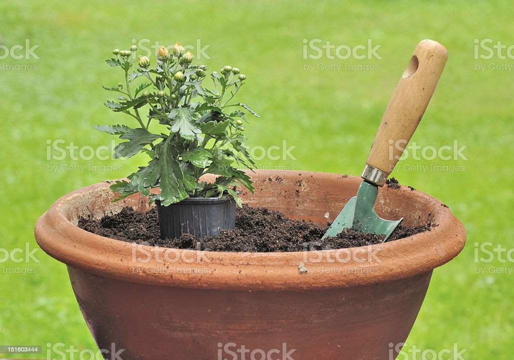 seedling of daisy in a pot stock photo