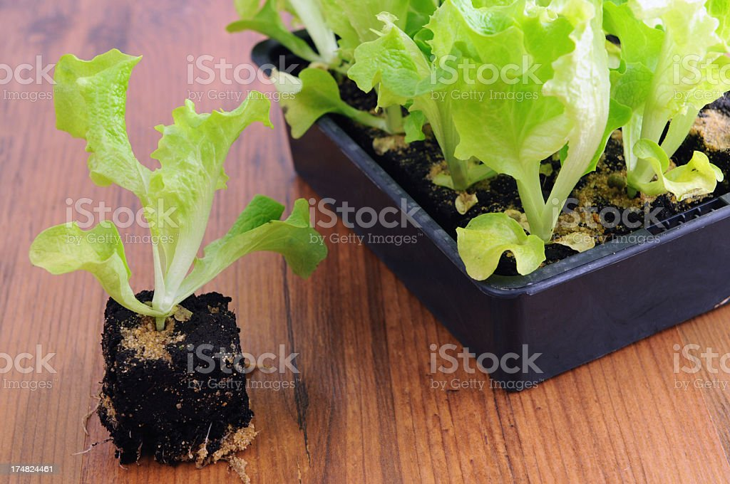 Seedling of Lollo Bionda Lettuce Salat plants in flower pot royalty-free stock photo