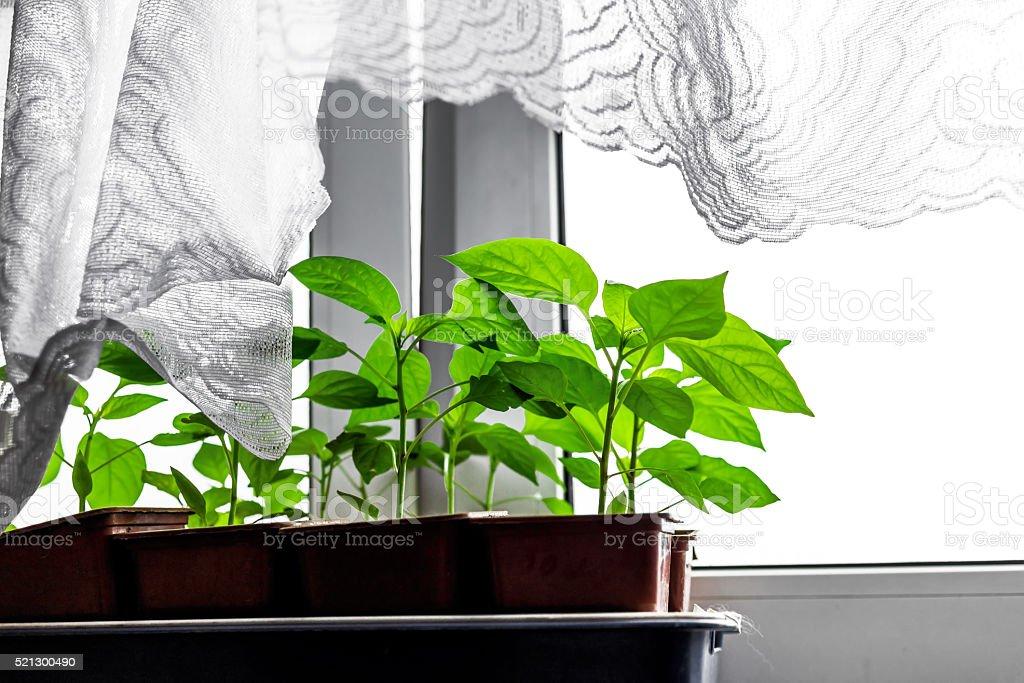 Seedling of pepper stock photo