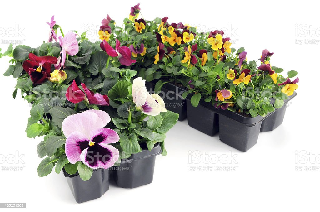 seedling of pink orange pansy and viola flower in pot royalty-free stock photo