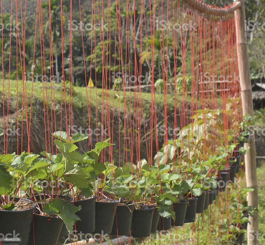 Seedling strawberry stock photo