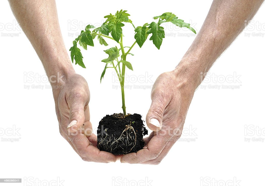 seedling tomato royalty-free stock photo