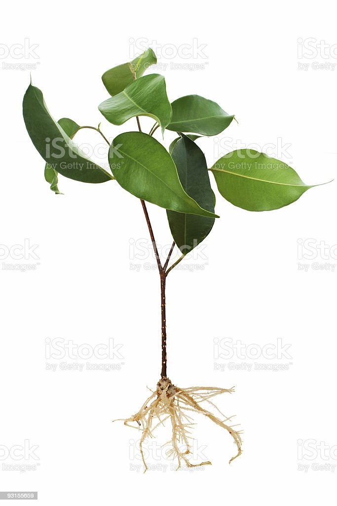 Seedling with root stock photo