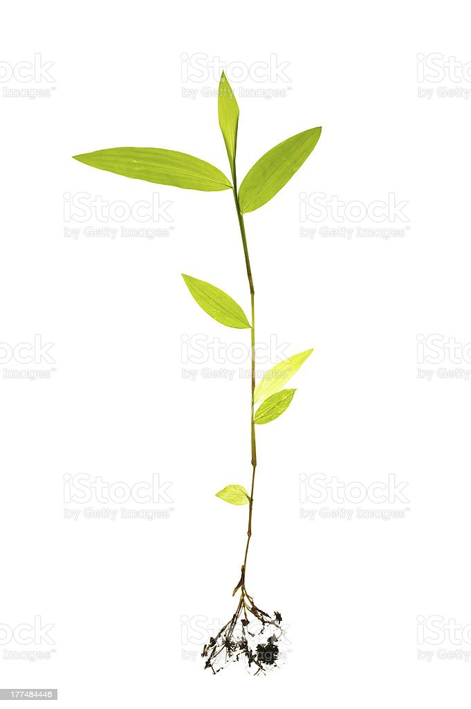 Seedling with visible root isolated stock photo