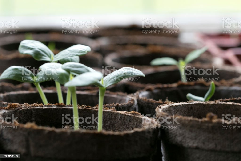 Seedlings 3 stock photo