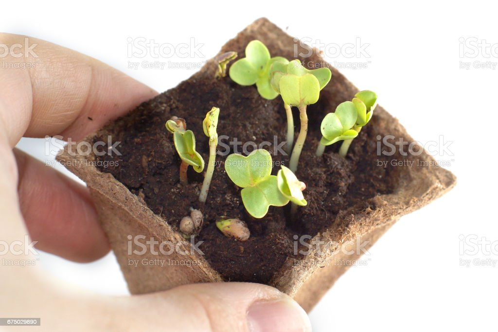 Seedlings at the window, fingers touching young plant stock photo