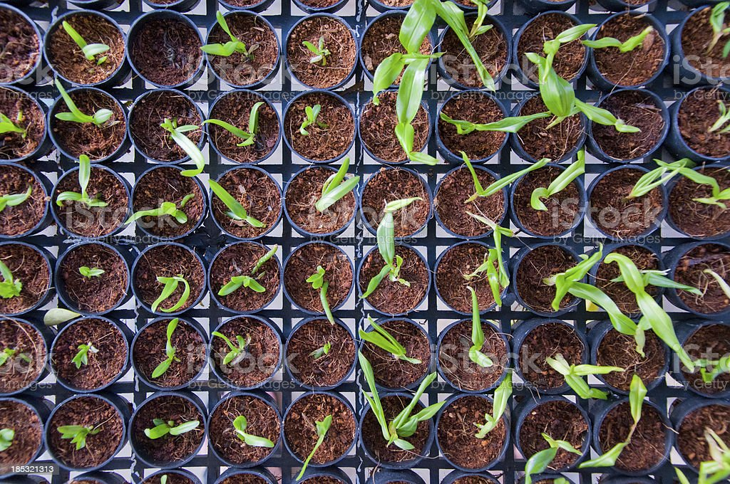 Seedlings beginning to grow in  a plant nursery royalty-free stock photo