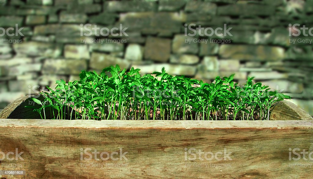 seedlings for tomatoes royalty-free stock photo