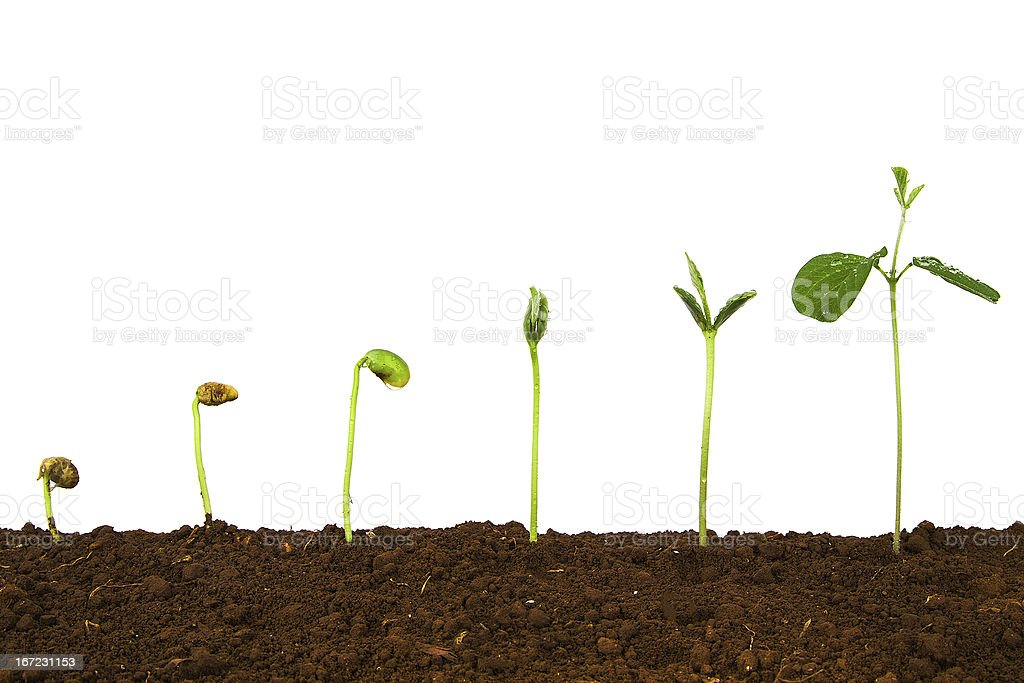 Seedlings in different stages of growth in the soil stock photo