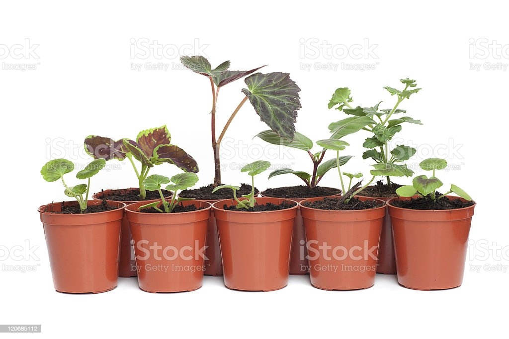 Seedlings in Plastic Pots royalty-free stock photo
