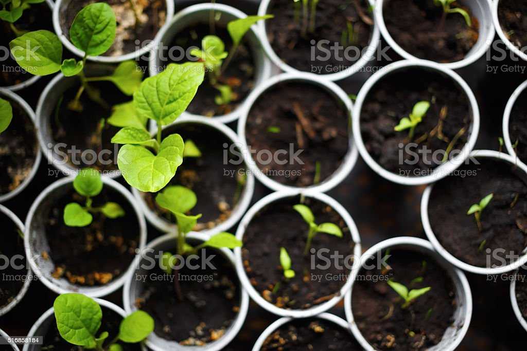 Seedlings in pots stock photo