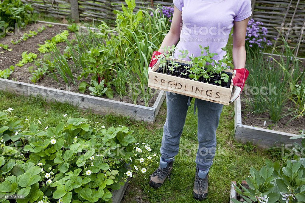 Seedlings in Vegetable Garden royalty-free stock photo
