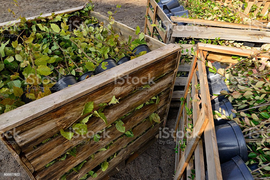 Seedlings of bushes arranged in wooden boxes stock photo