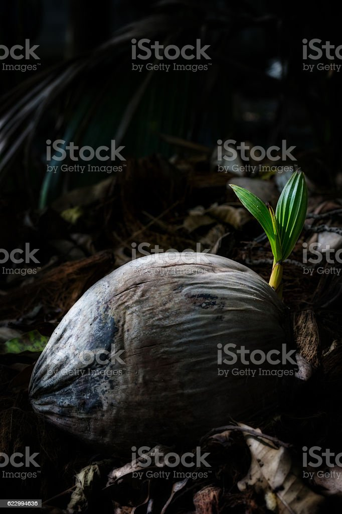 Seedlings of coconut growing stock photo