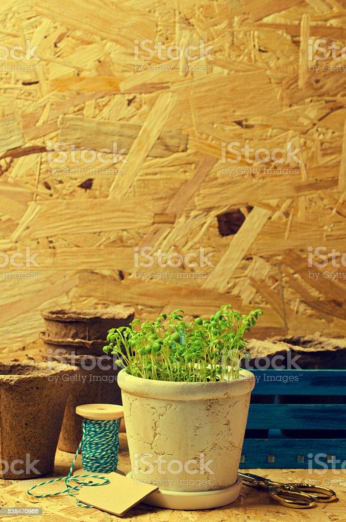 Seedlings of green watercress stock photo