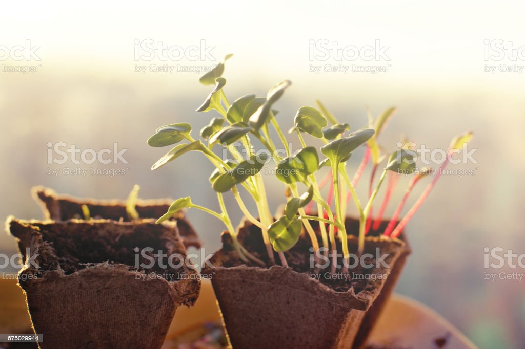 Seedlings of radishes and beets in peat pots at dawn in the spring stock photo