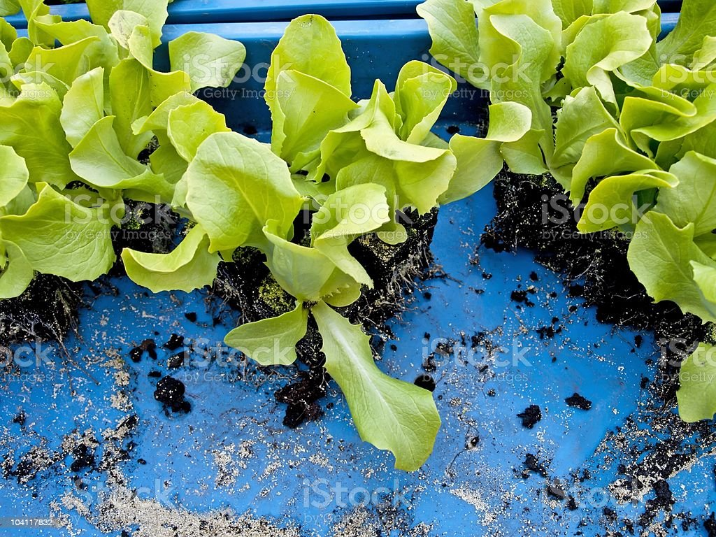 seedlings of salad stock photo