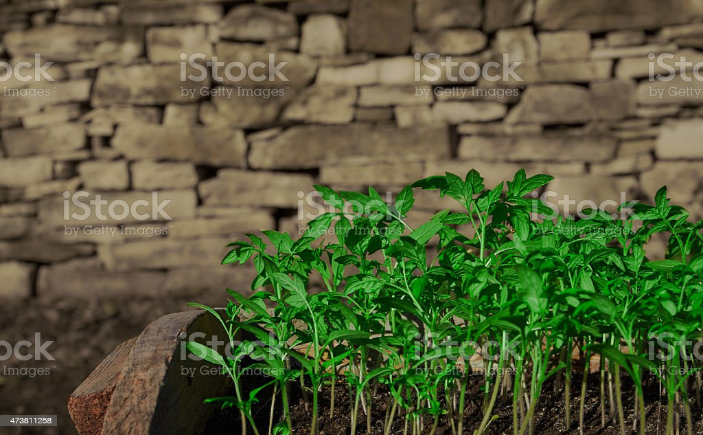 seedlings of tomato royalty-free stock photo