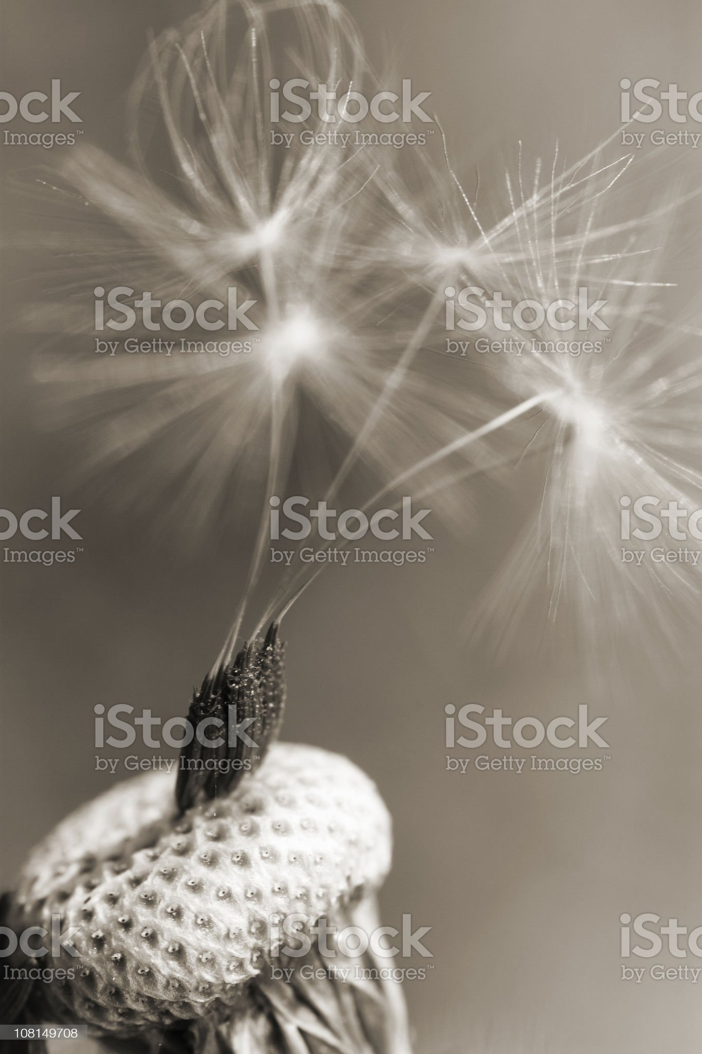 Seedlings on dandelion head royalty-free stock photo