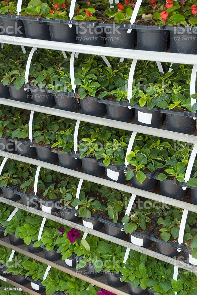 Seedlings on market royalty-free stock photo