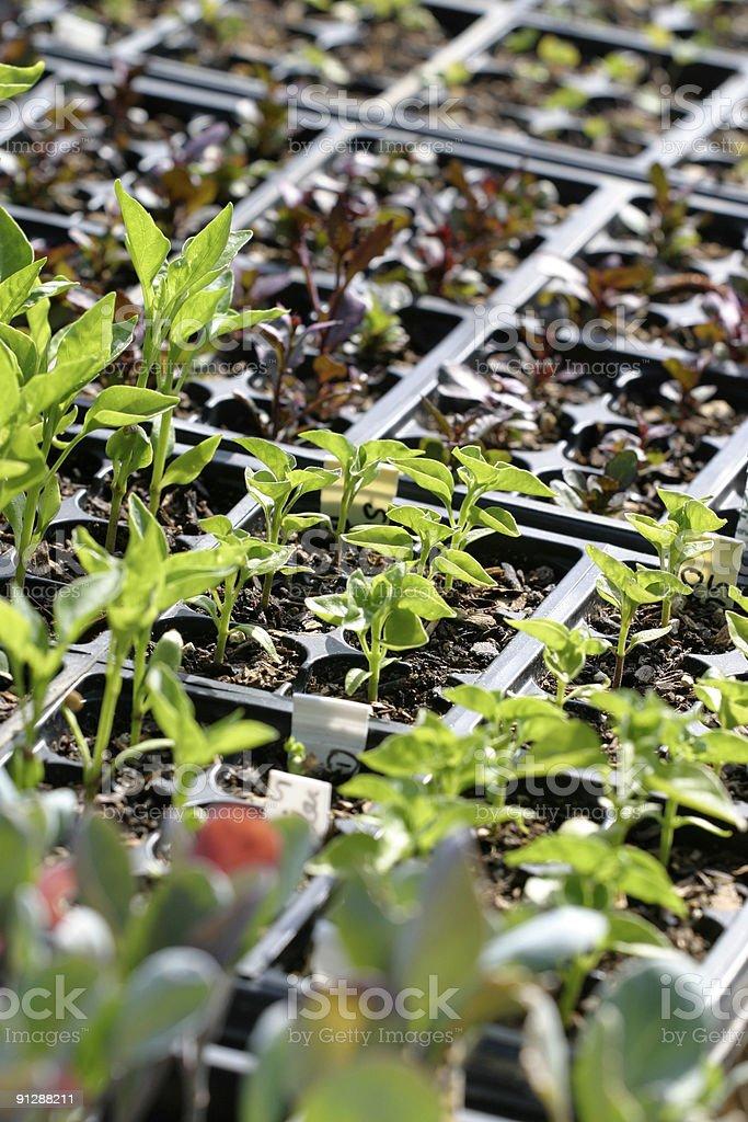 Seedlings #2 stock photo