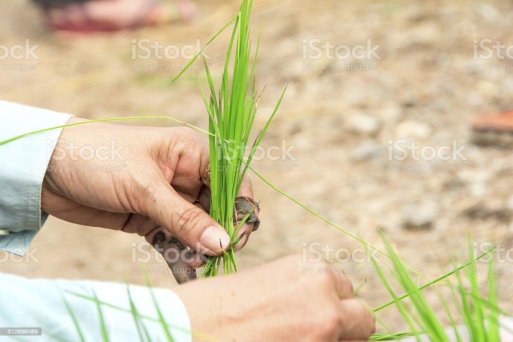 Seedlings Rice stock photo