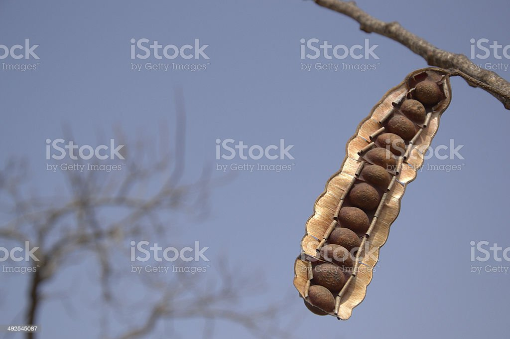 seedpod hanging on a limb stock photo