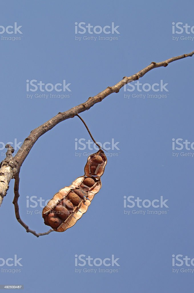seedpod hanging on limb stock photo