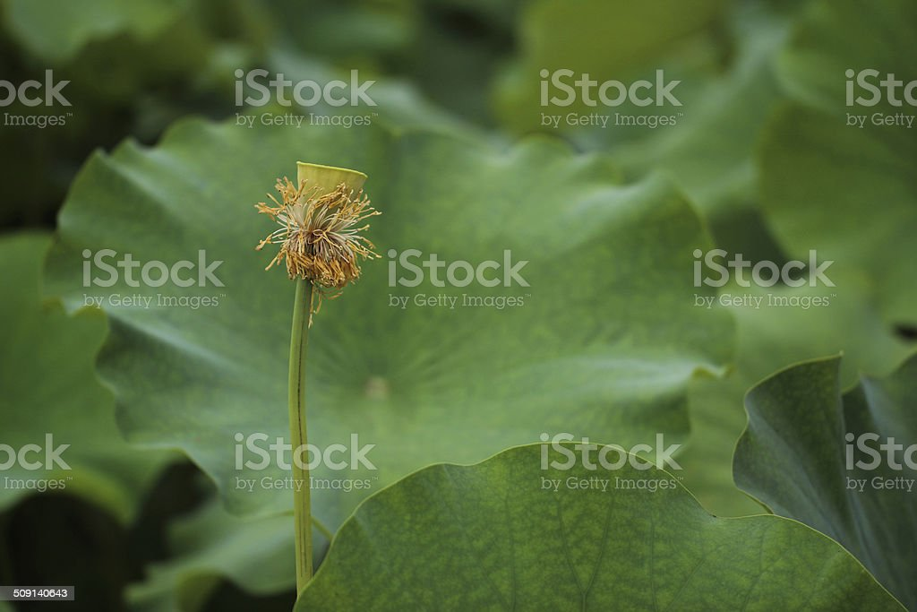 Seedpod of the lotus royalty-free stock photo