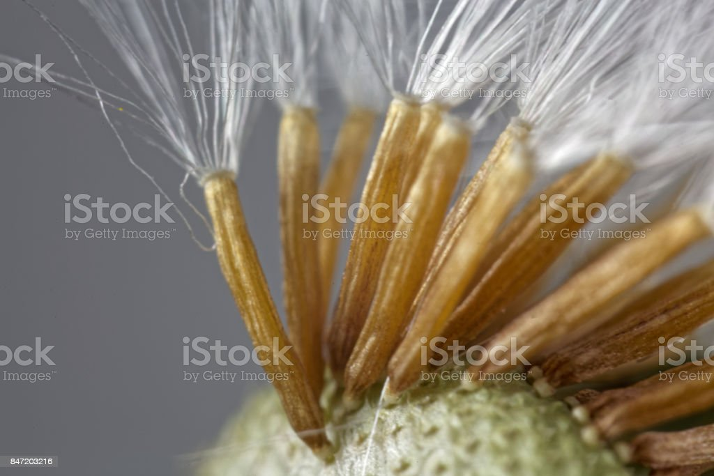 Seeds of a coltsfoot flower under a microscope. stock photo