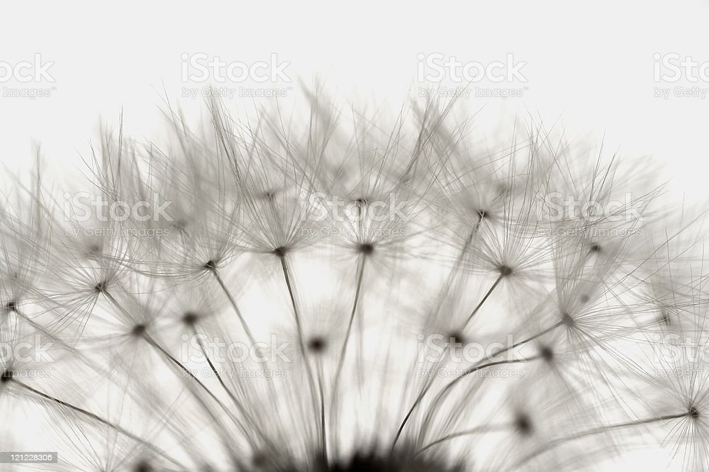seeds of a dandelion royalty-free stock photo