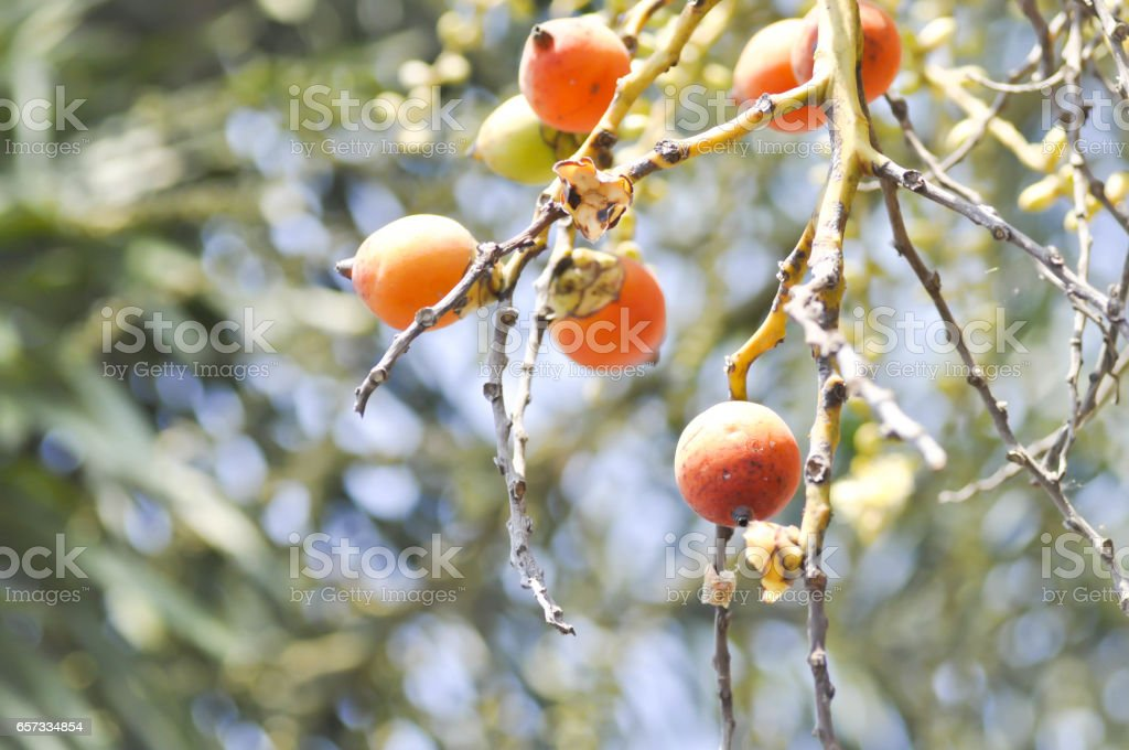 seeds of betel palm , betel nut seed stock photo