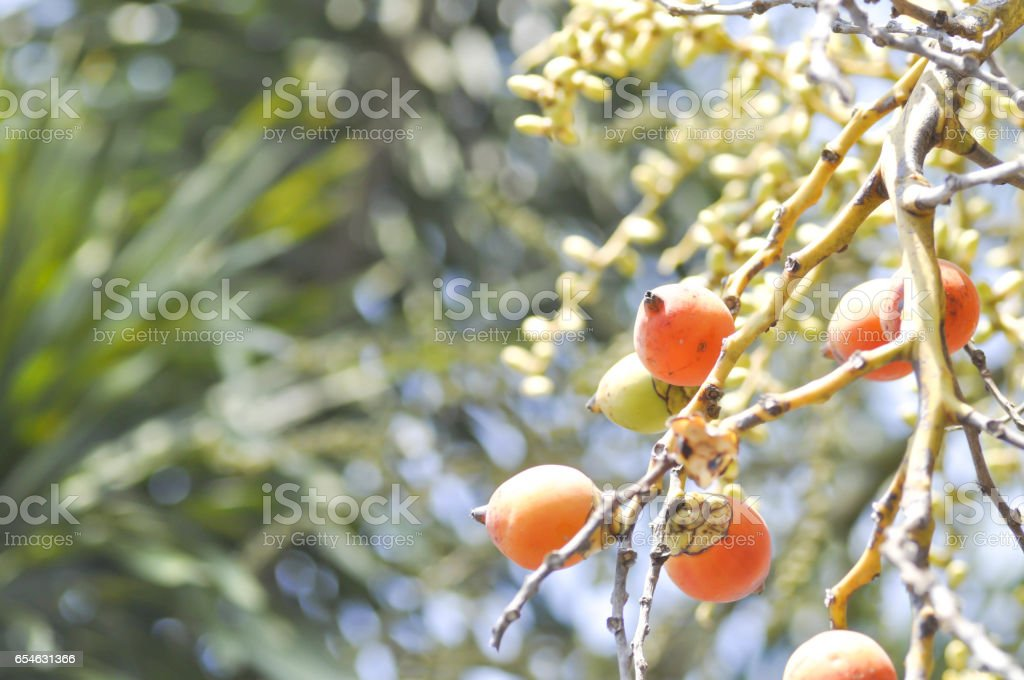 seeds of betel palm stock photo