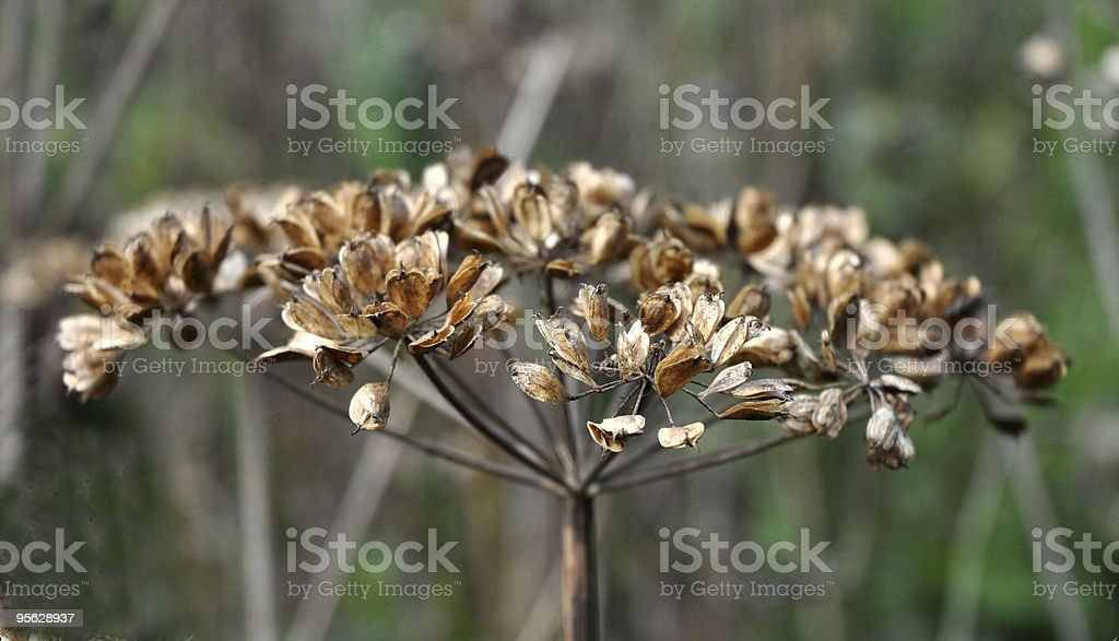 Seeds of common hogweed stock photo