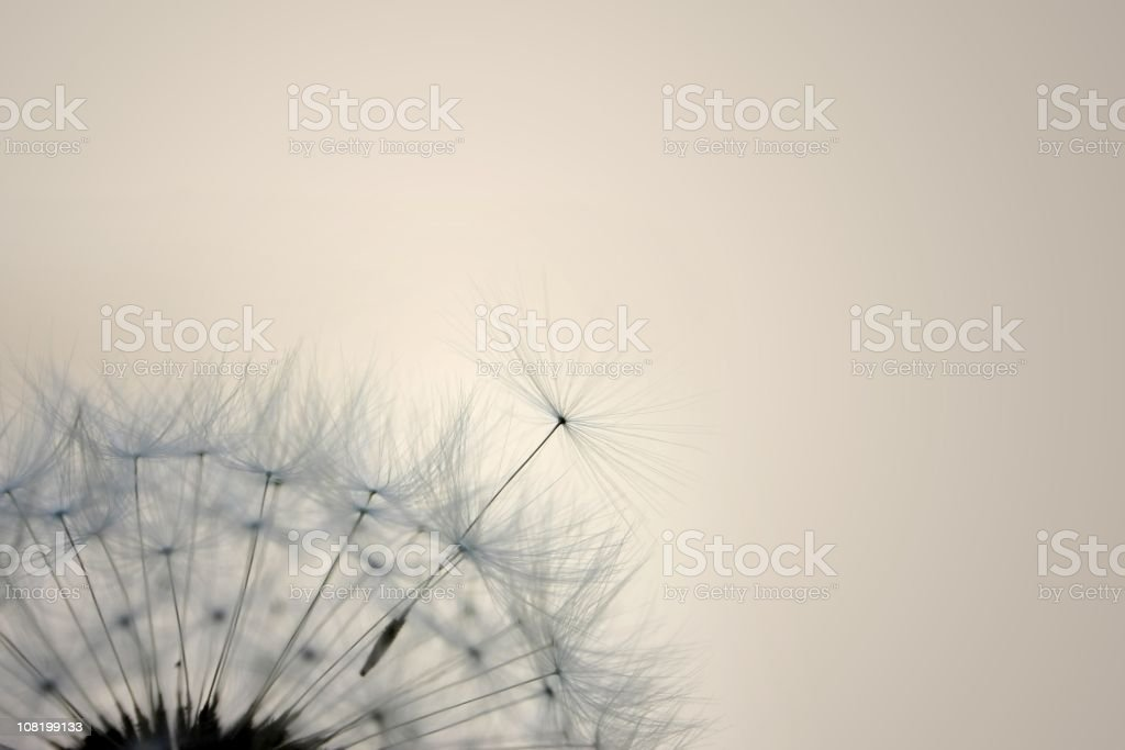 Seeds of Dandelion -  Close up royalty-free stock photo