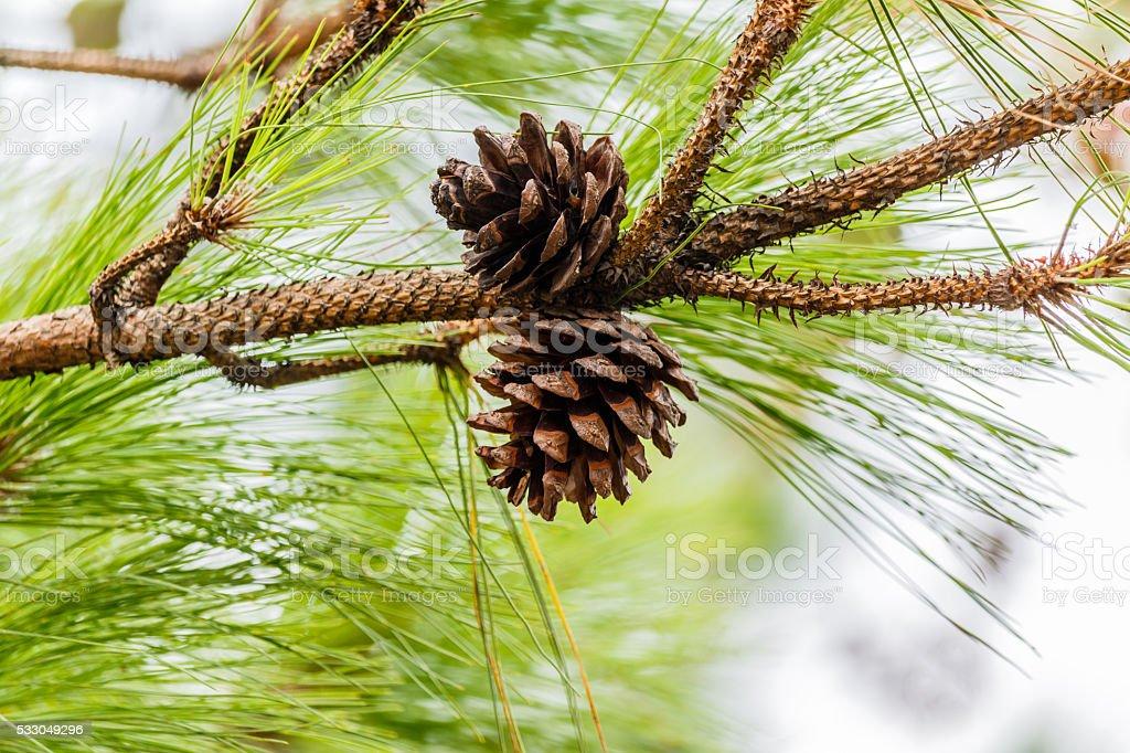 seeds of Khasiya Pine  in Phu Rua National Park. stock photo