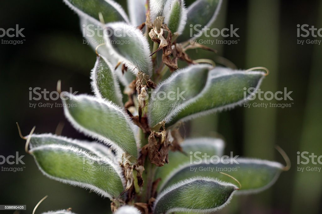 Seeds of lupine stock photo