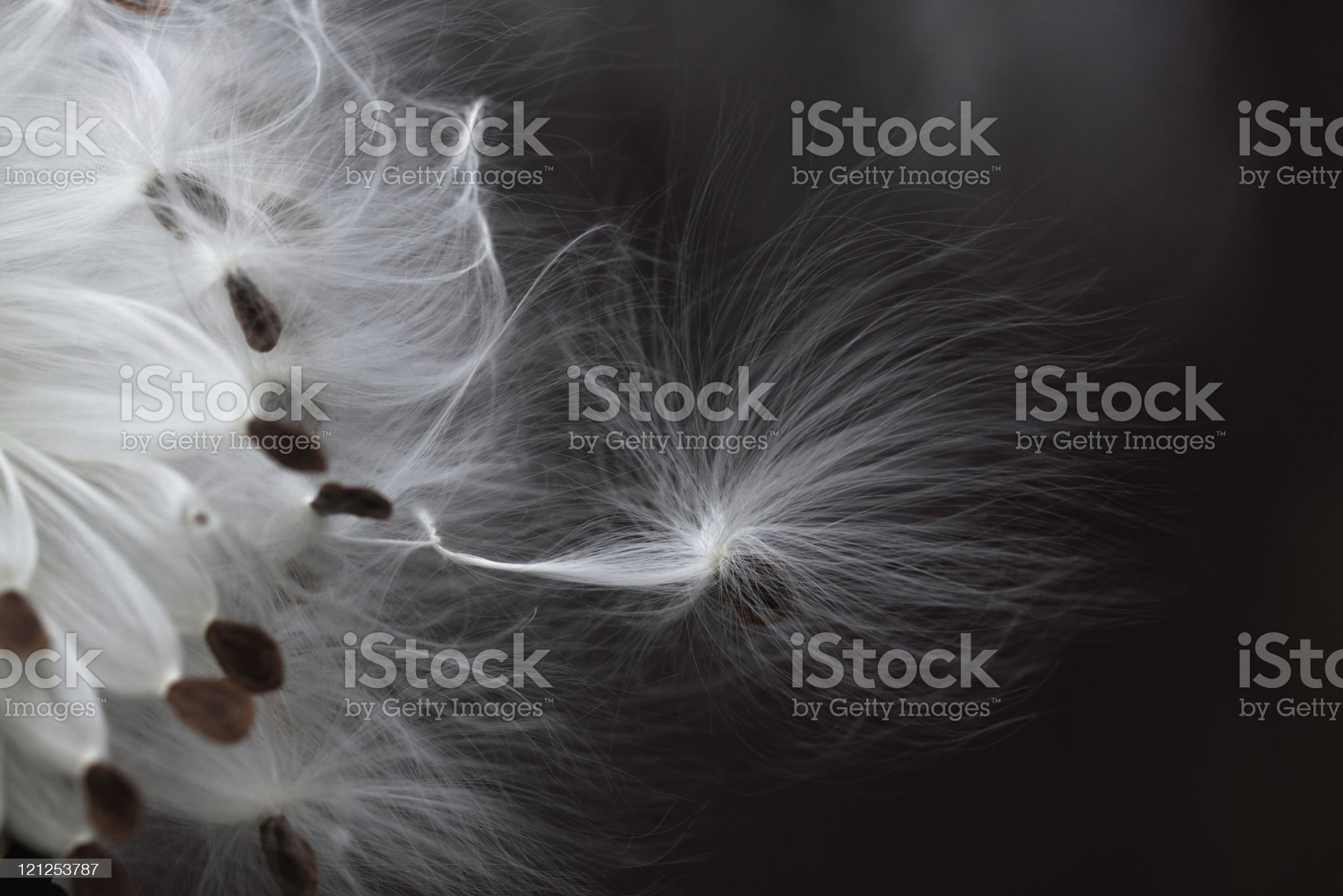 Seeds of milkweed in the wind royalty-free stock photo