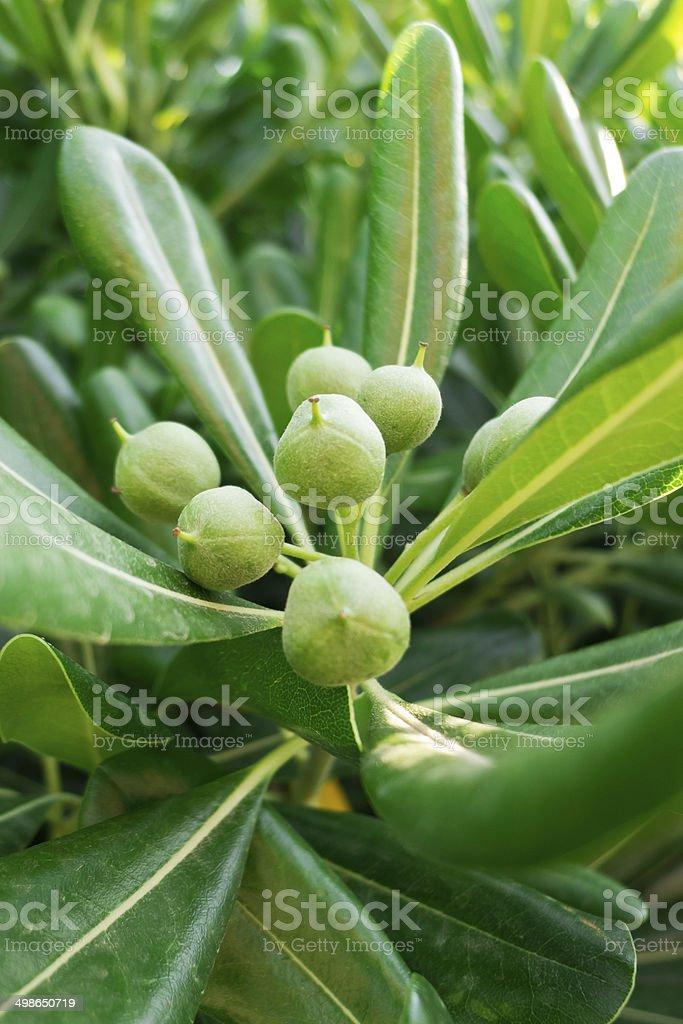 Seeds of Pittosporum. stock photo