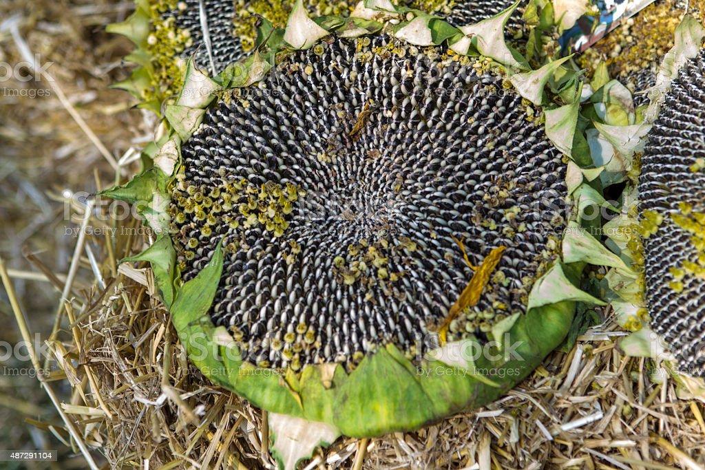 Seeds of ripen sunflowers stock photo