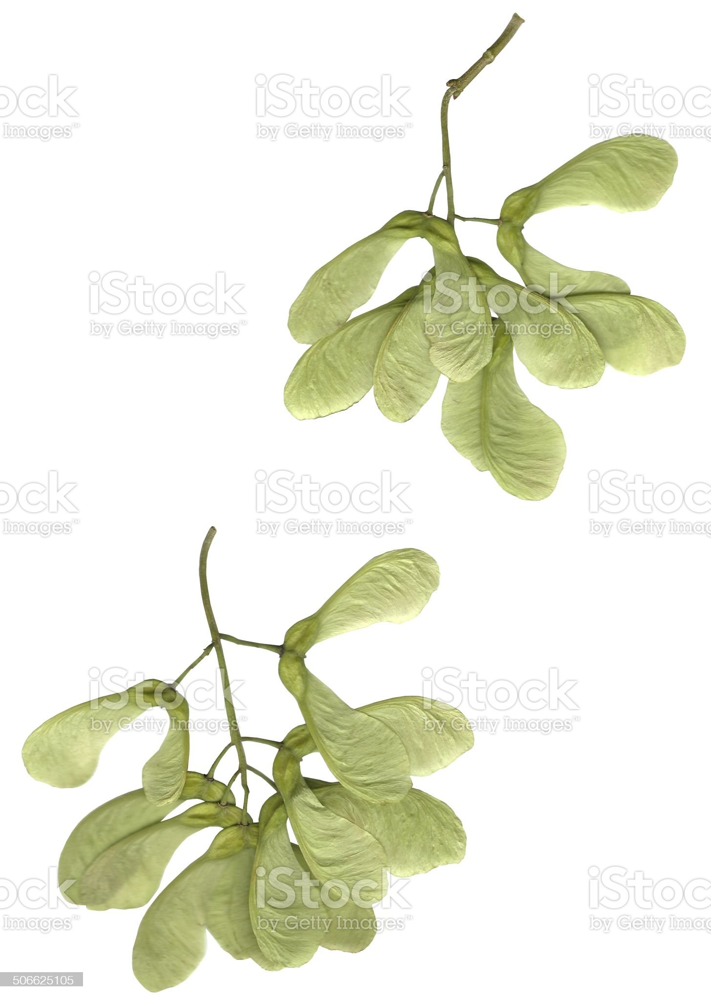 seeds of sycamore maple tree royalty-free stock photo