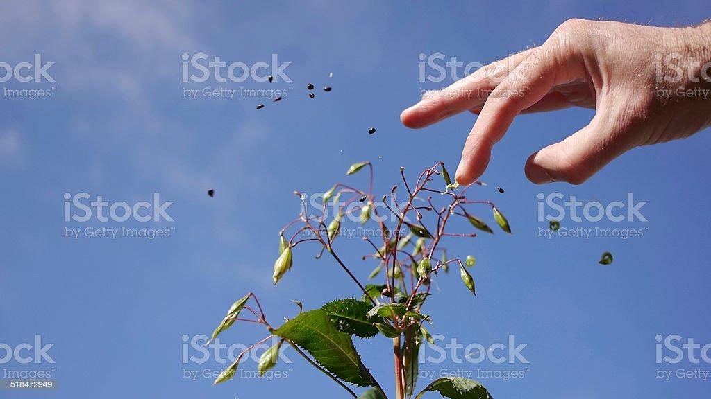 Seeds of the Impatiens Glandurifera flying around royalty-free stock photo