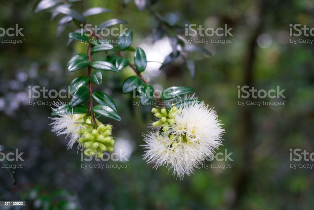 Seeds of water apple already blooming in white beautiful flower photo taken in Kebun Raya Bogor Indonesia stock photo