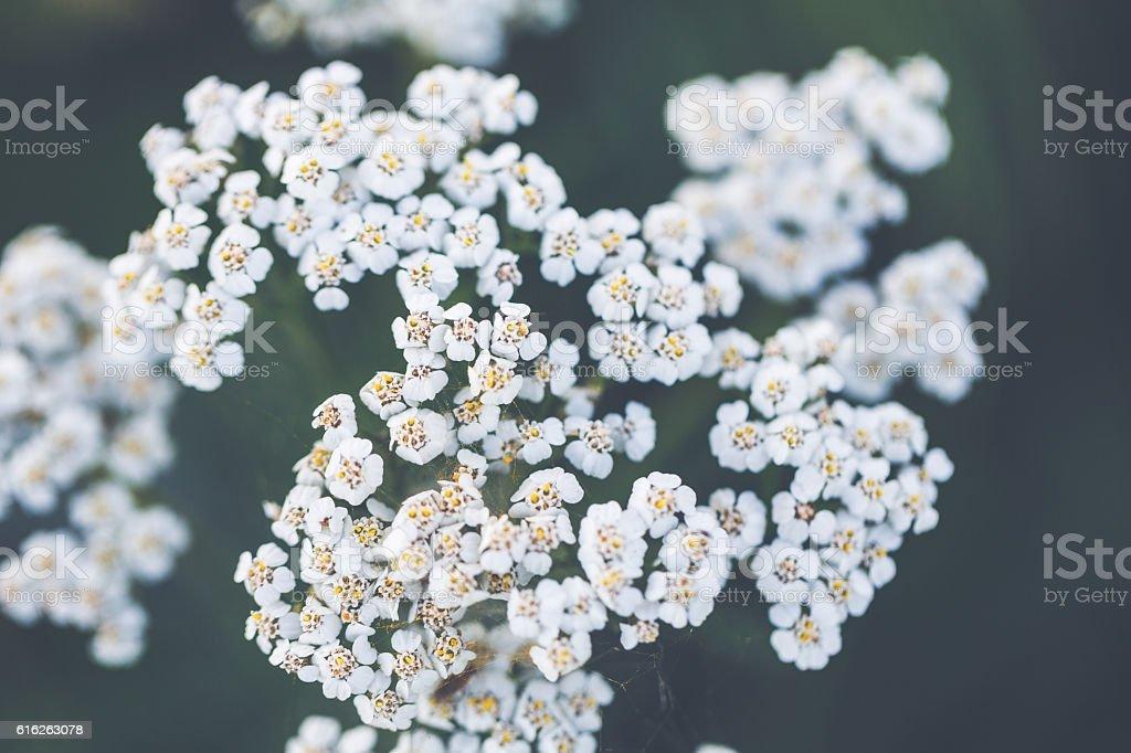 Seeds of (common) yarrow [Achillea millefolium, syn.: A. magna] stock photo