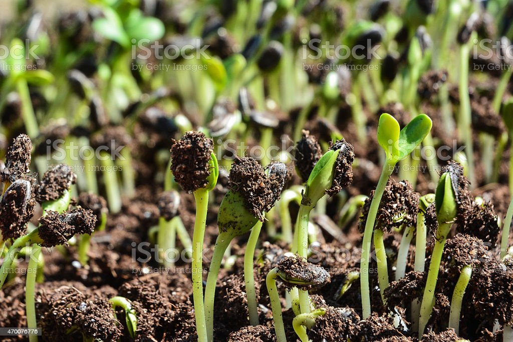 Seeds Spouting stock photo