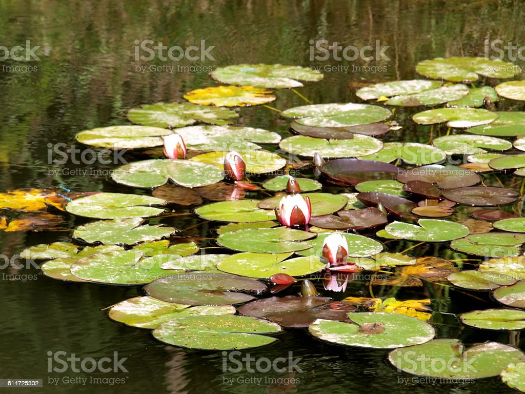 Seerosen stock photo