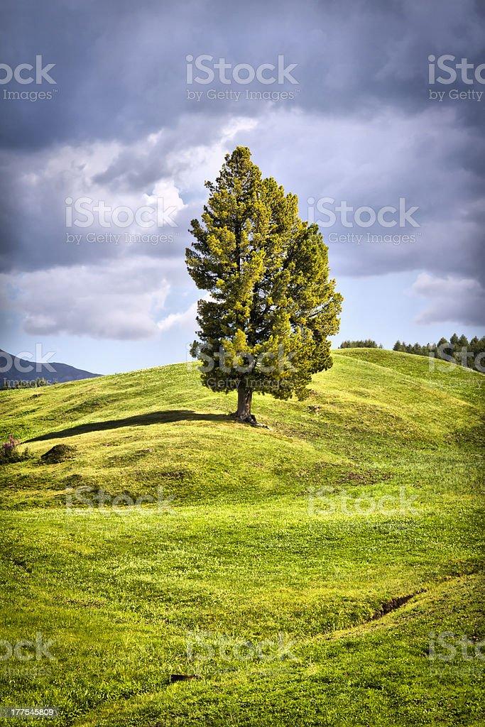 Seiser Alm (Dolomites) - Pine tree on mountain stock photo